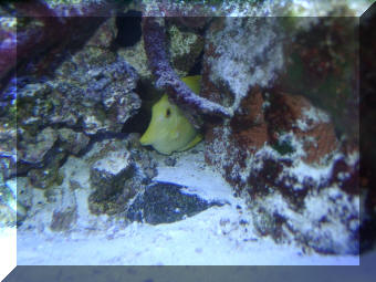 Yellow Tang Peeking